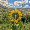 Sun flower in Wachau valley
