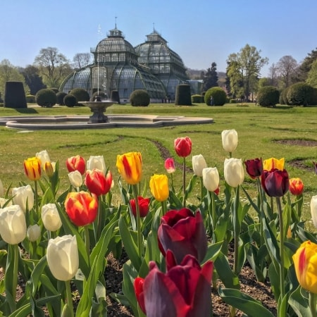 Blooming tulips in front of Palmenhaus in Schoenbrunn Gardens