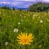 Gutenstein Alps meadow with dandelions