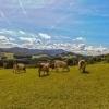 Hafnerberg herd of cows grazing in the pasture