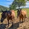 Hafnerberg two brown horses on a pasture
